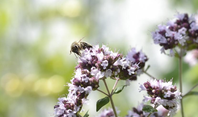 Biene auf Majoran