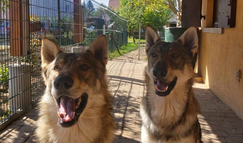 zwei freundliche Wolfshunde