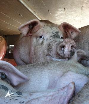 Schweine auf großer Reise